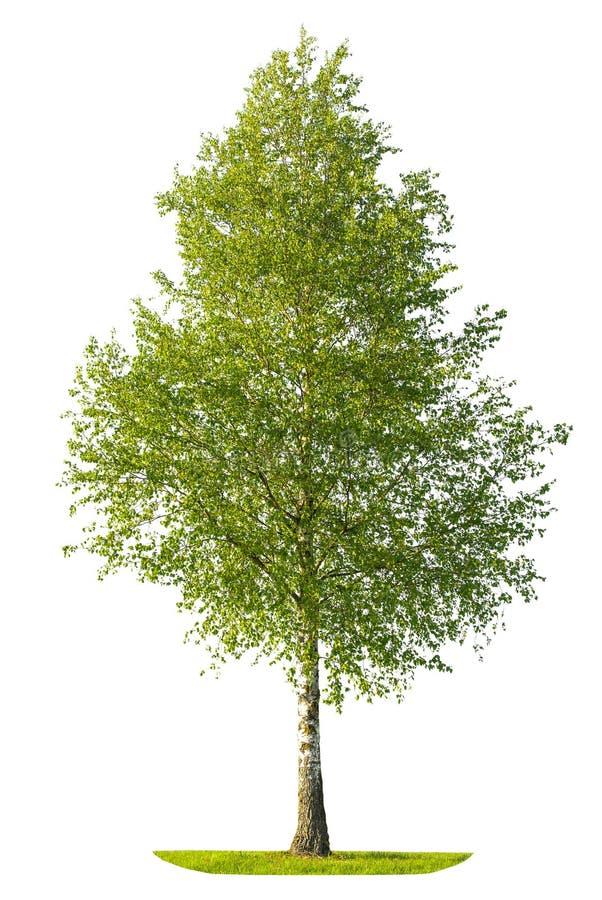 Grönt vårbjörkträd som isoleras på vit bakgrund fotografering för bildbyråer