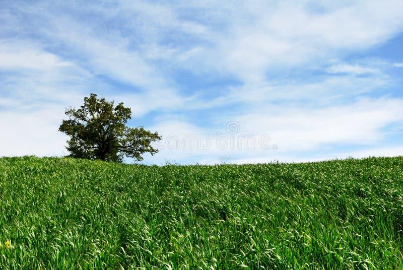 grönt vete för odling arkivbilder