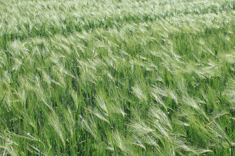 Grönt vete i fältet. fotografering för bildbyråer