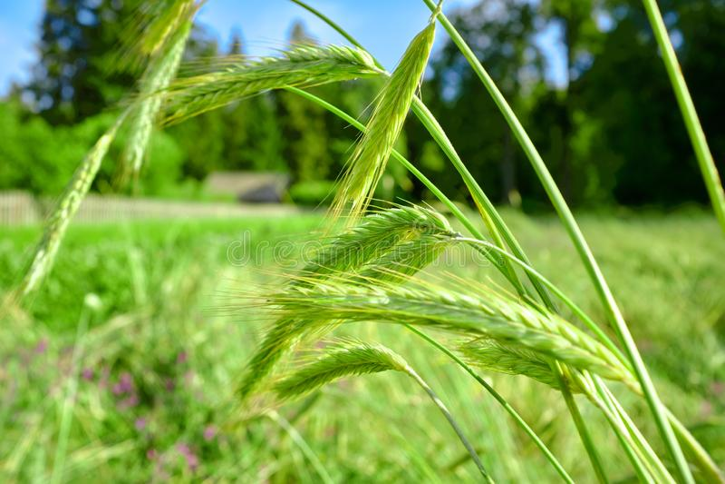 Grönt vete i fältet bredvid huset lantlig livstid arkivfoton