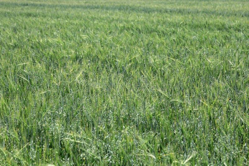 Grönt vete på en textur för gräs för kornfält arkivfoto
