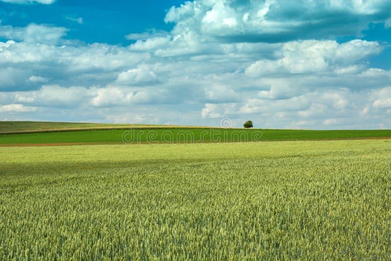 Grönt vetefält, ensamt träd och moln i himlen fotografering för bildbyråer