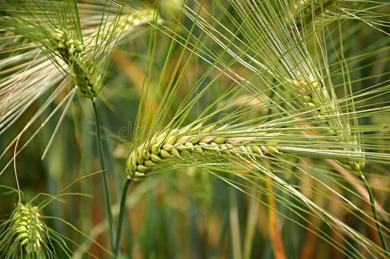 Grönt vetefält i vår eller försommar, closeup av en grov spik royaltyfri foto
