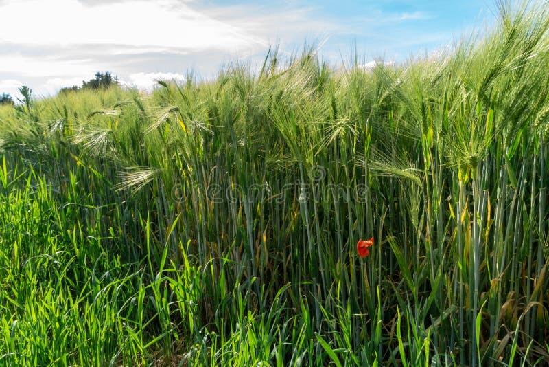 Grönt vetefält med omoget korn och blå himmel royaltyfri bild