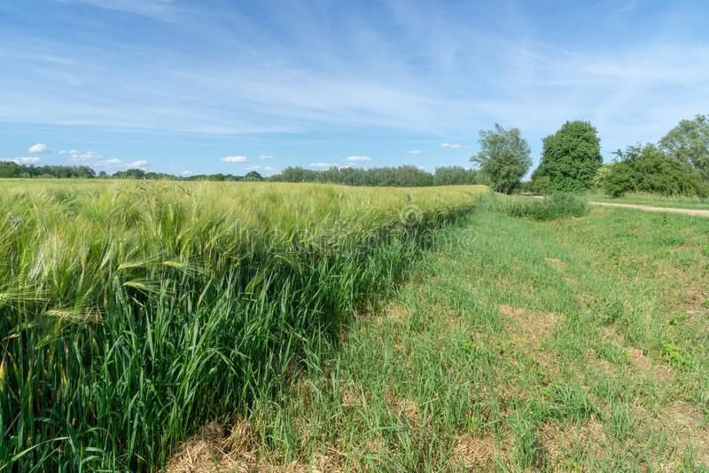 Grönt vetefält med omoget korn och blå himmel arkivbilder