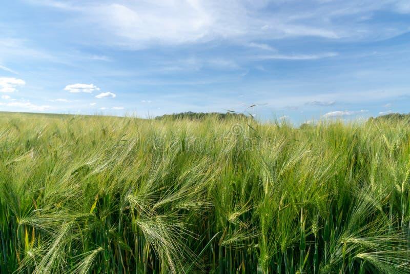 Grönt vetefält med omoget korn och blå himmel arkivbild