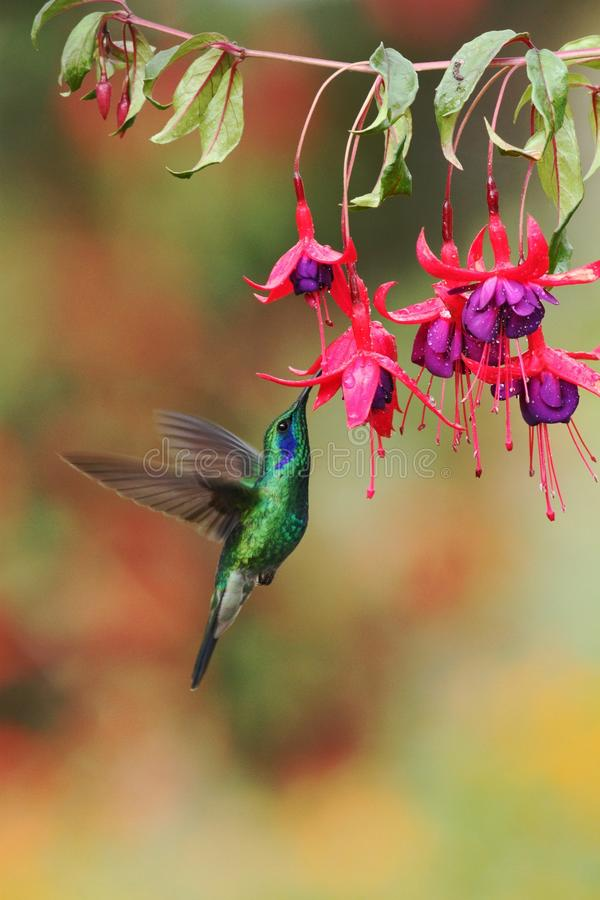 Grönt violetear, Colibri thalassinus som svävar bredvid den röda blomman i trädgård, fågel från den tropiska skogen för berg, Cos royaltyfria bilder