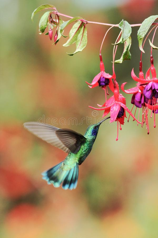 Grönt violett-öra från Costa Rica, Savegre royaltyfria foton