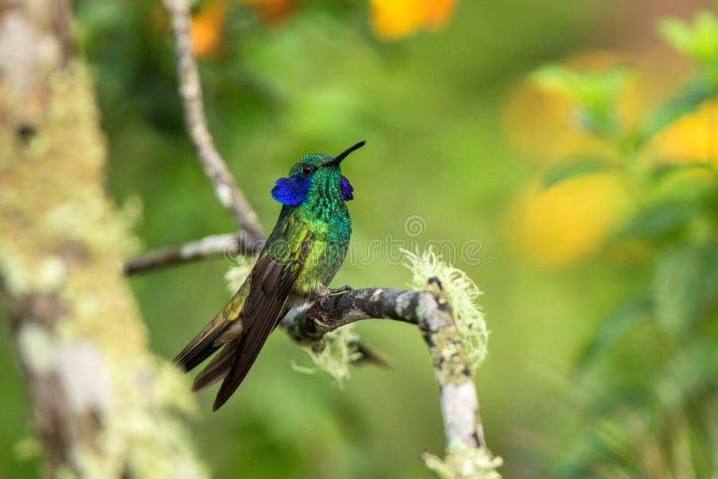 Grönt violett-öra som sitter på filialen, kolibri från den tropiska skogen, Ecuador, fågel som sätta sig, mycket liten fågel som  arkivfoto
