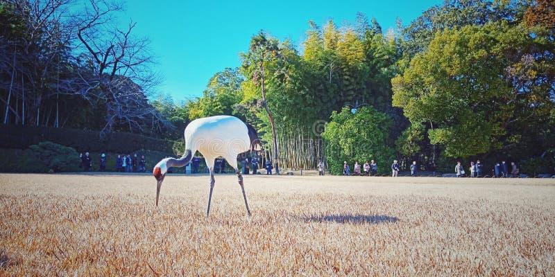 Grúa en el jardín de Okayama Korakuen, Japón foto de archivo libre de regalías