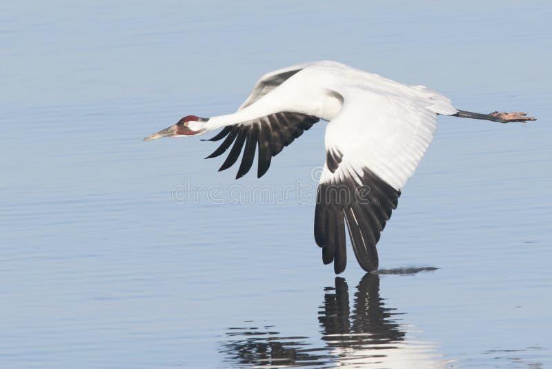 Grúa que chilla en vuelo con el ala en agua imagenes de archivo