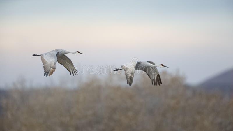 Grúas en vuelo - New México de Sandhill imágenes de archivo libres de regalías