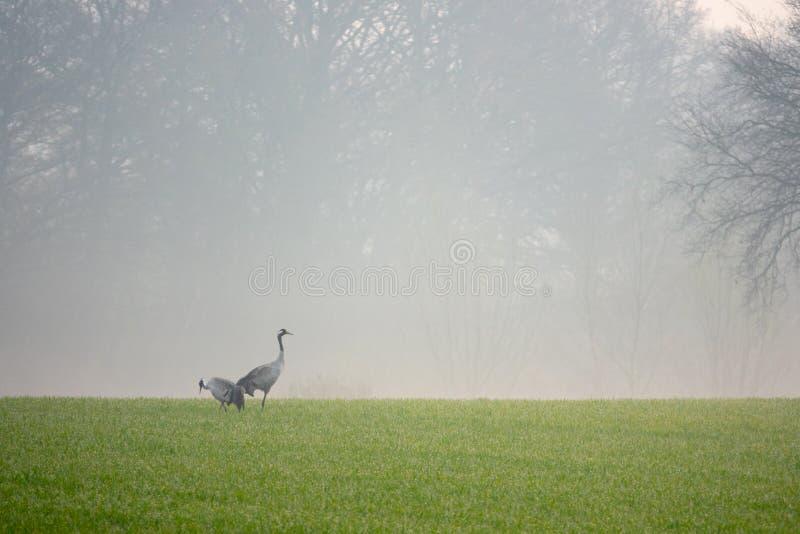 2 grúas que buscan la comida en un campo temprano por la mañana imagen de archivo