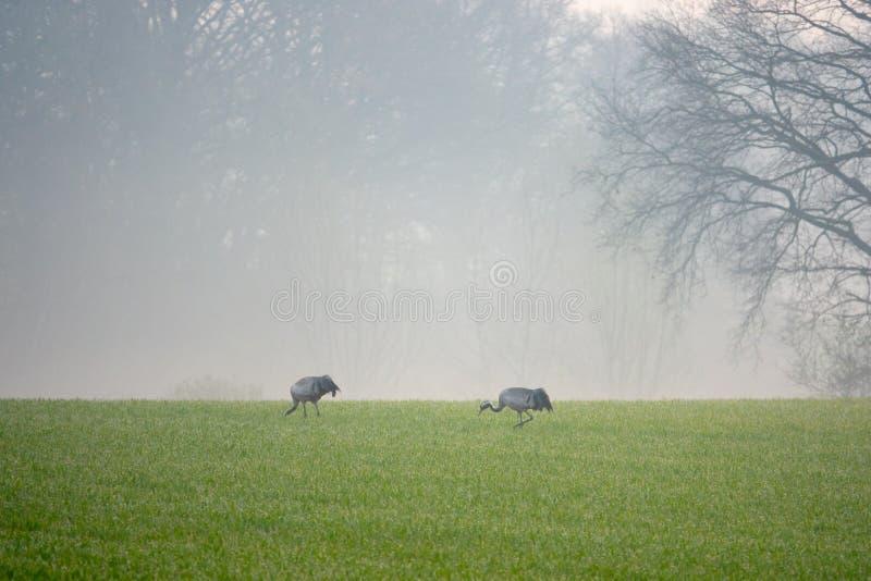 2 grúas que buscan la comida en un campo temprano por la mañana imagenes de archivo