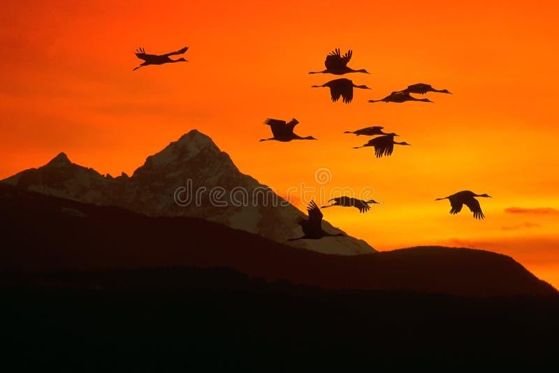 Grúas que vuelan sobre cordillera en la puesta del sol fotos de archivo