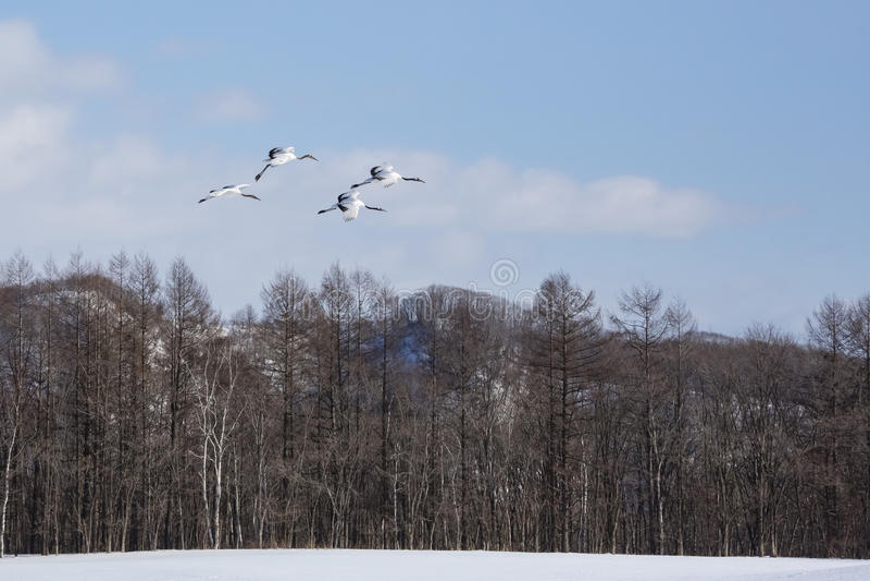 Grúas Rojo-coronadas en vuelo foto de archivo