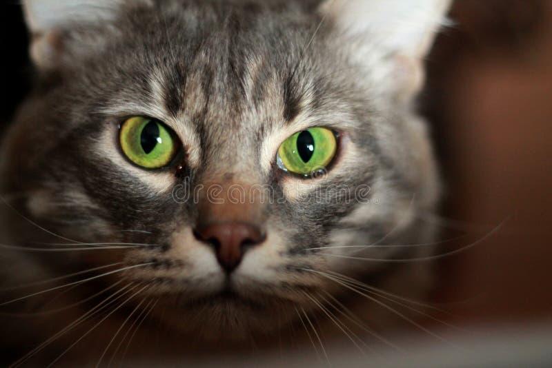 Grünäugige Katze lizenzfreies stockfoto
