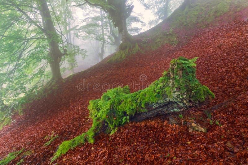 Grün auf rotem, nebelhaftem Wald stockbilder