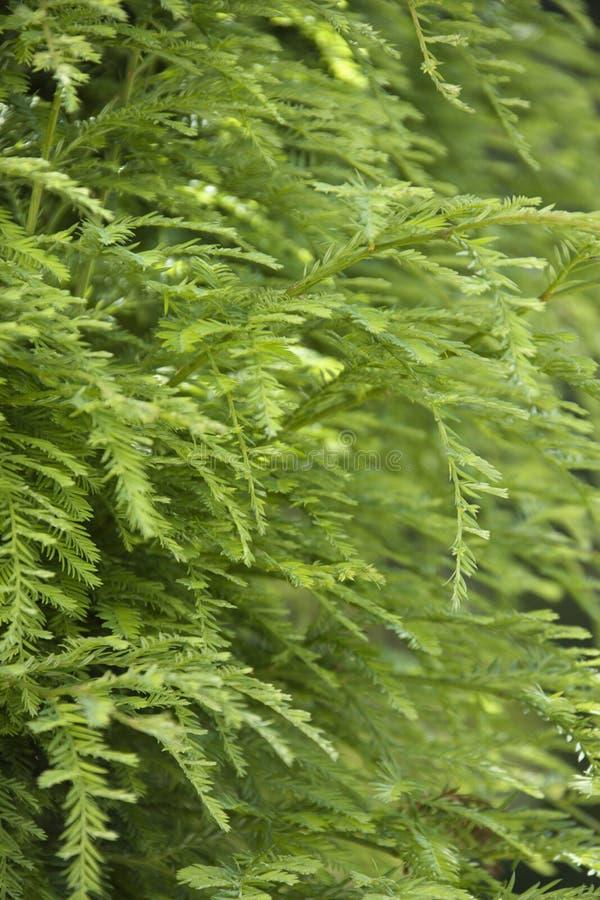 Grün auf Rotholzbaum stockfotografie