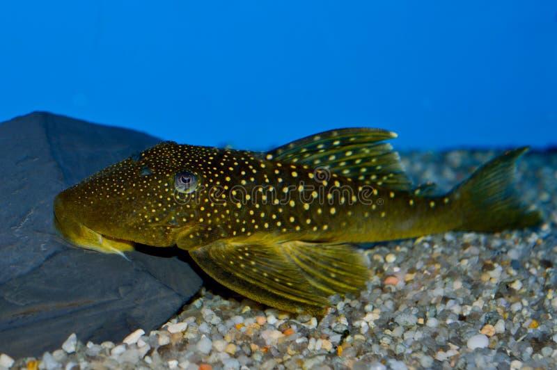 Grün beschmutzte Phantom Pleco-Fische stockfotos