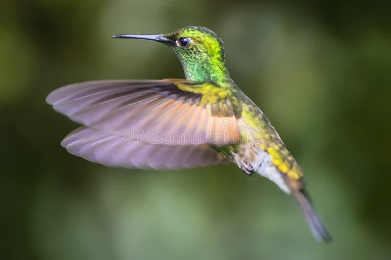 Grün-gekröntes glänzendes Curi Cancha, Costa Rica lizenzfreie stockfotografie