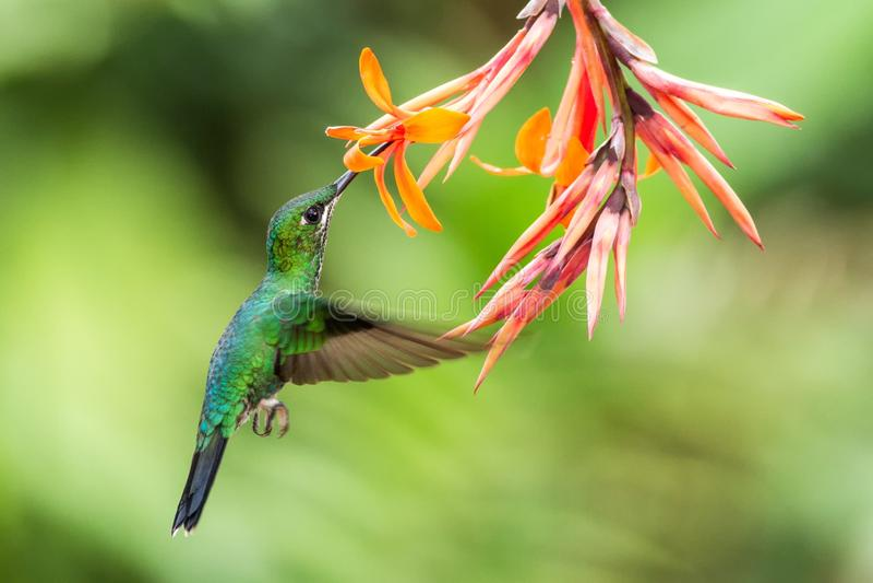 Grün-gekröntes glänzendes, Heliodoxa-jacula, schwebend nahe bei orange Blume, Vogel vom Gebirgstropischen Wald, Costa Rica lizenzfreie stockfotos