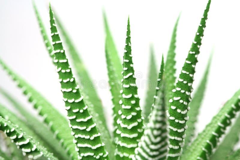 Grün hält dekorativen Kaktus auf stockfotos