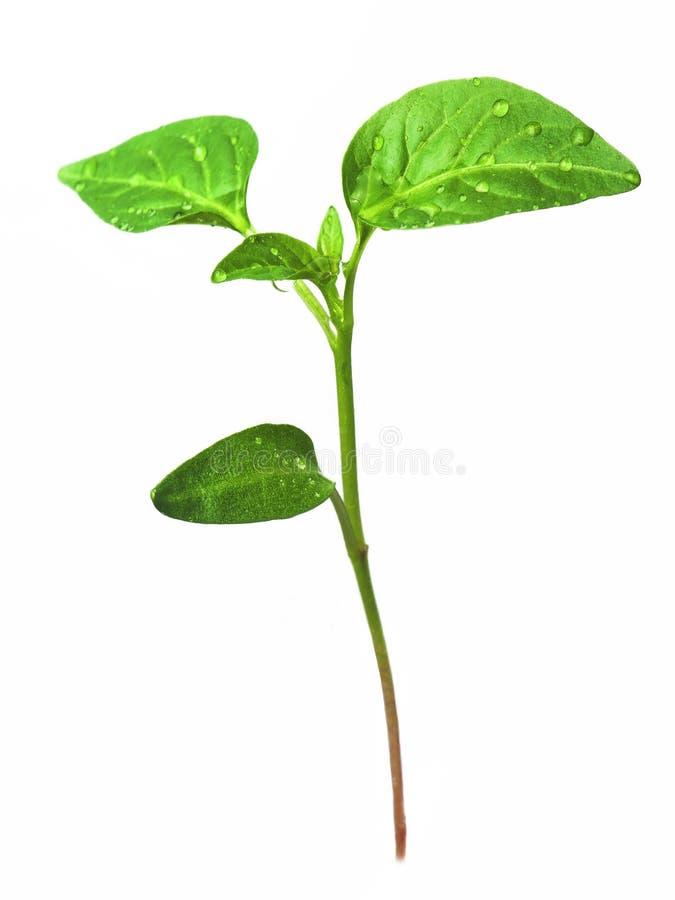 Grün keimt das Wachsen von den Samen pfeffer lizenzfreies stockfoto