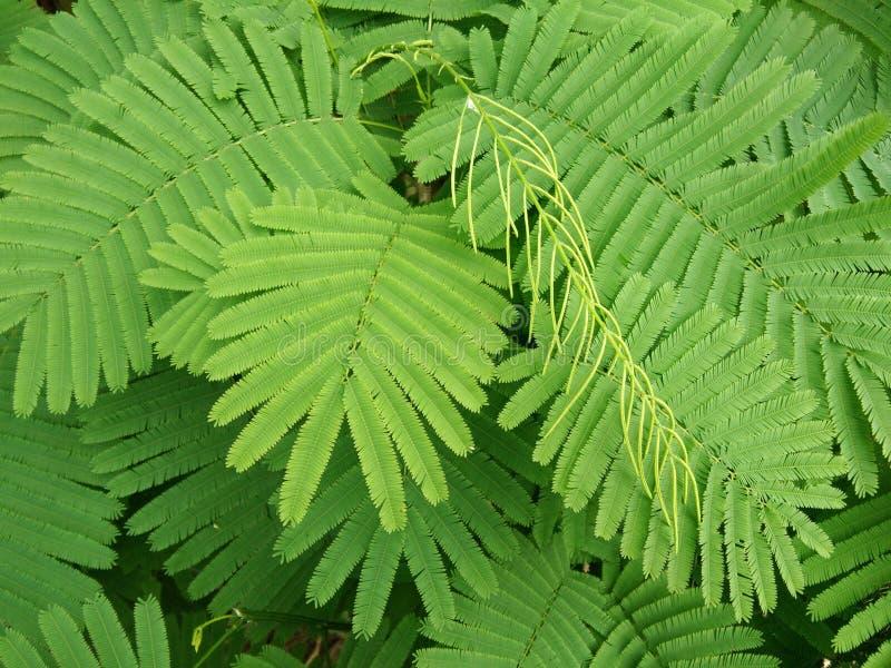 Grün lässt Akazie pennata, kletternden Zweigbaum, Cha-OM stockbilder