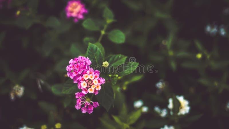 Grün lässt Hintergrund mit kleiner kleiner rosa Blume stockfoto