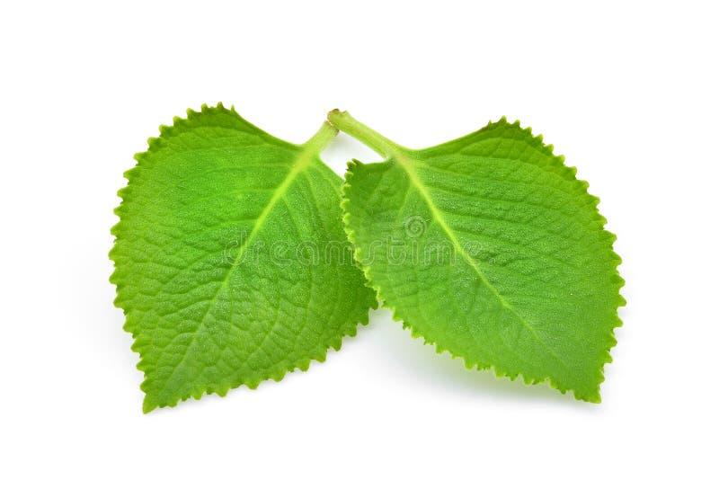 Grün lässt Land Borage, indischen Borage, Buntlippe amboinicus Lou stockbilder