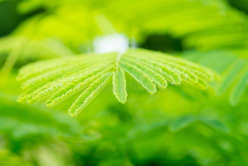 Grün lässt Leucaena-Akazie lizenzfreie stockfotos