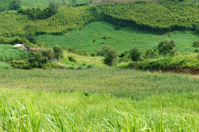 Grün, Landwirtschaftsanlage, beträchtliches Feld stockfoto