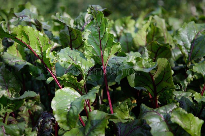 Grün und Burgunder-botwinki verlässt sehr gut für Gemüsesuppe stockfotografie
