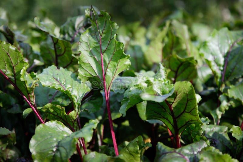 Grün und Burgunder-botwinki verlässt sehr gut für Gemüsesuppe lizenzfreie stockbilder