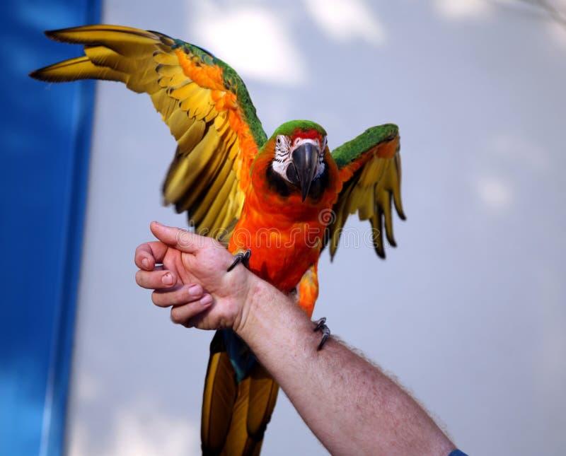 Grün und Goldmacaw mit Flügeln oben lizenzfreie stockfotos