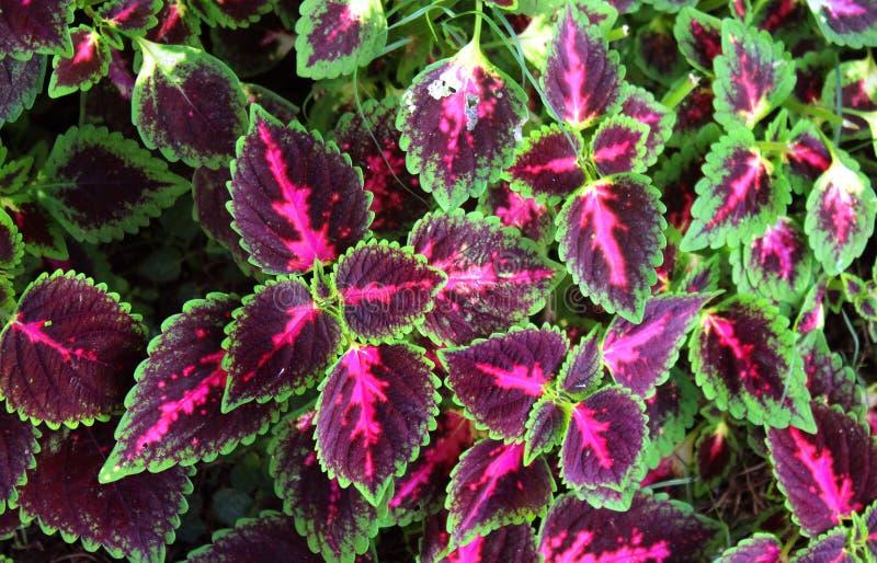 Grün und Purpur färbt Zierpflanzen im Garten mit Zementwand stockfoto