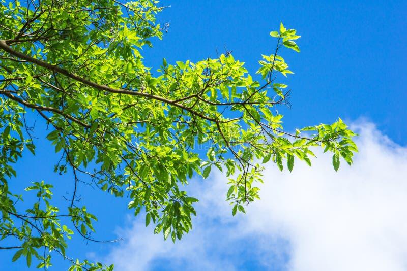 Grün verlässt gegen blauen Himmel und bewölkt Naturhintergrund, stockfotos