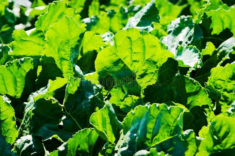 Grün verlässt hintergrundbeleuchtet durch den Sonnenlichthintergrund Zuckerrübenfabriken, die auf einem Feld wachsen lizenzfreie stockfotografie