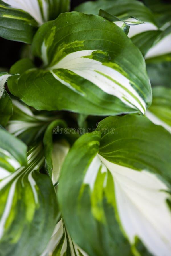 Grün-weiße Blätter Von Hosta Stockbild - Bild von hell, betrieb ...