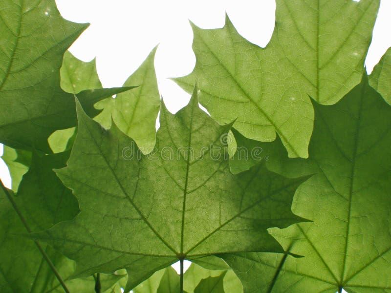 Grünblätter lizenzfreie stockfotografie