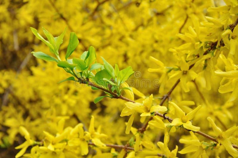 Grünblätter in der gelben Blüte stockbilder