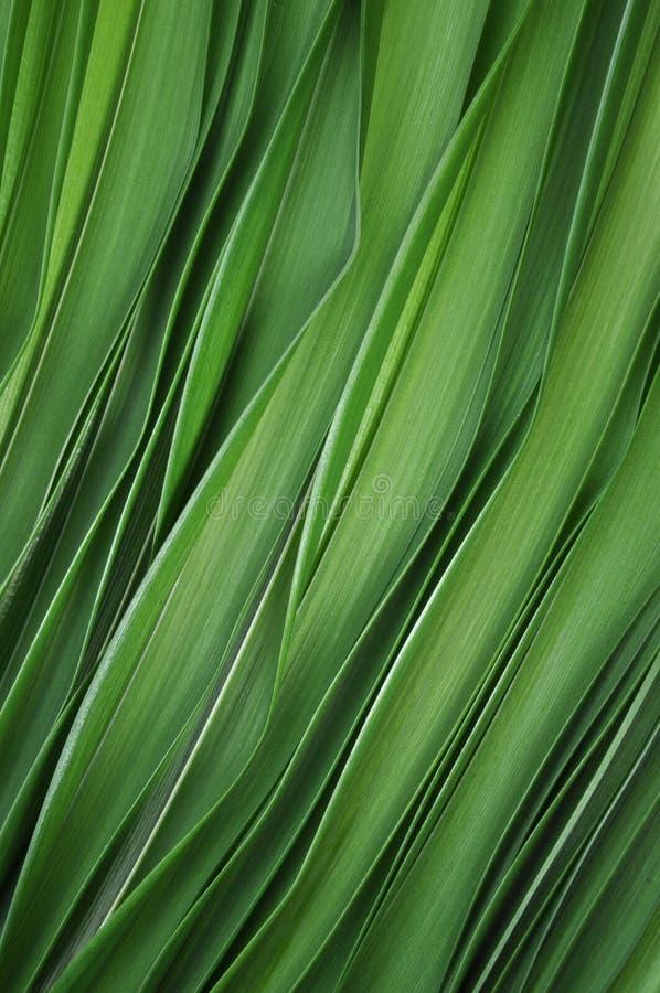 Grünblätter der Lilie lizenzfreies stockbild