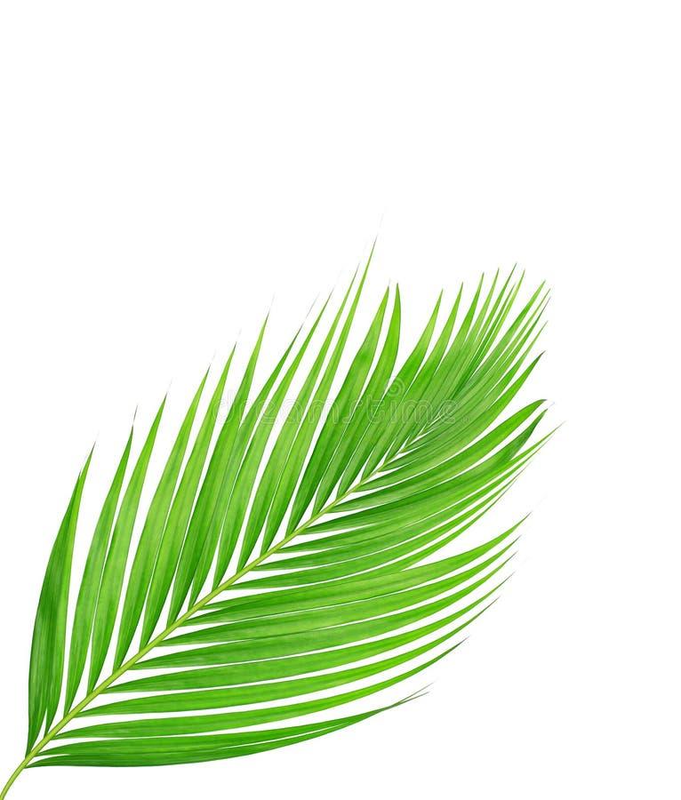 Grünblätter der Palme lokalisiert auf weißem Hintergrund lizenzfreies stockfoto