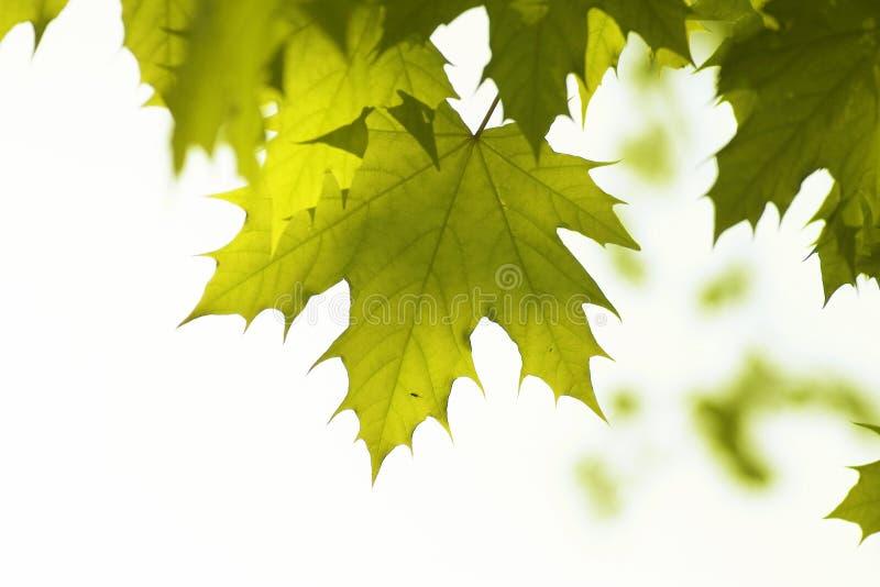 Grünblätter, flacher Fokus lizenzfreies stockfoto