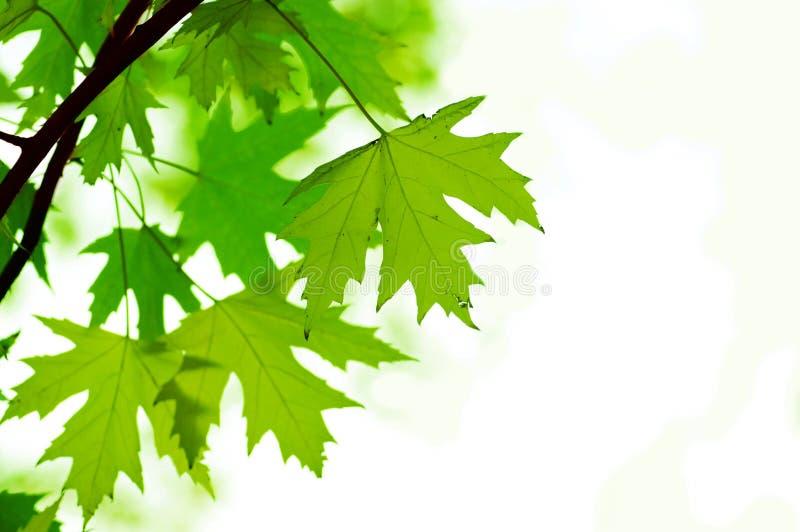Grünblätter, flacher Fokus stockfotos