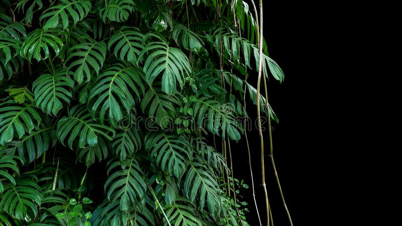 Grünblätter gebürtiger Monstera-Epipremnum pinnatum Liane planen lizenzfreies stockfoto