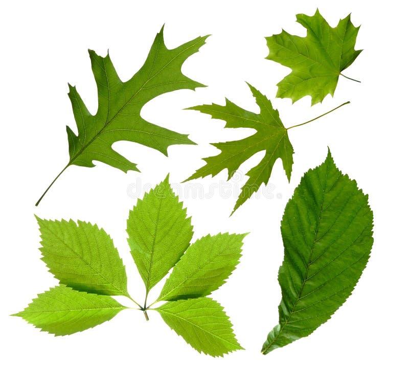 Grünblätter Getrennt Stockfotos