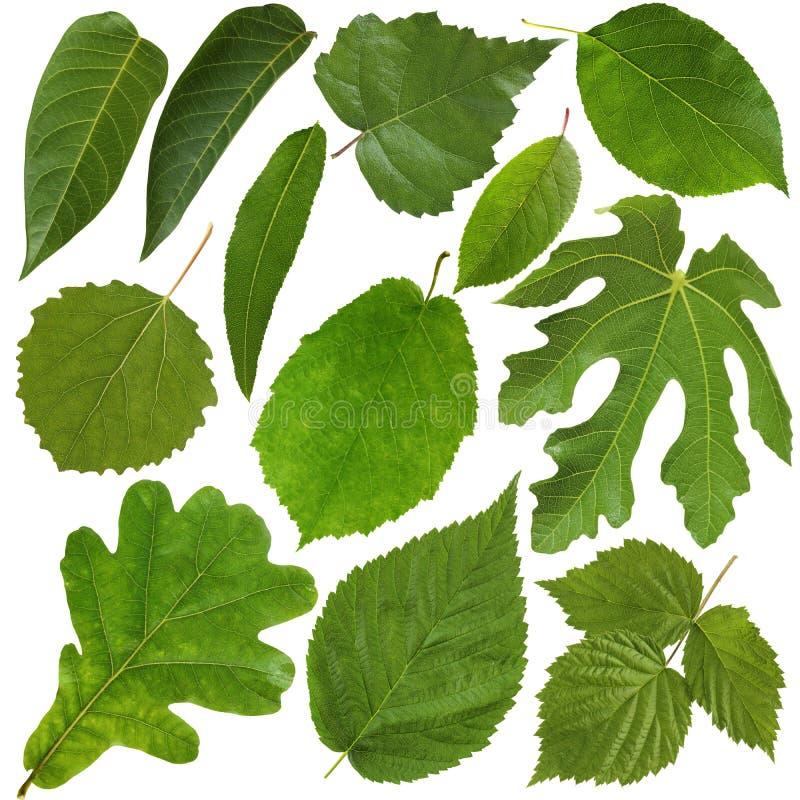 Grünblätter getrennt auf weißem Hintergrund Herbarium lizenzfreie stockfotos
