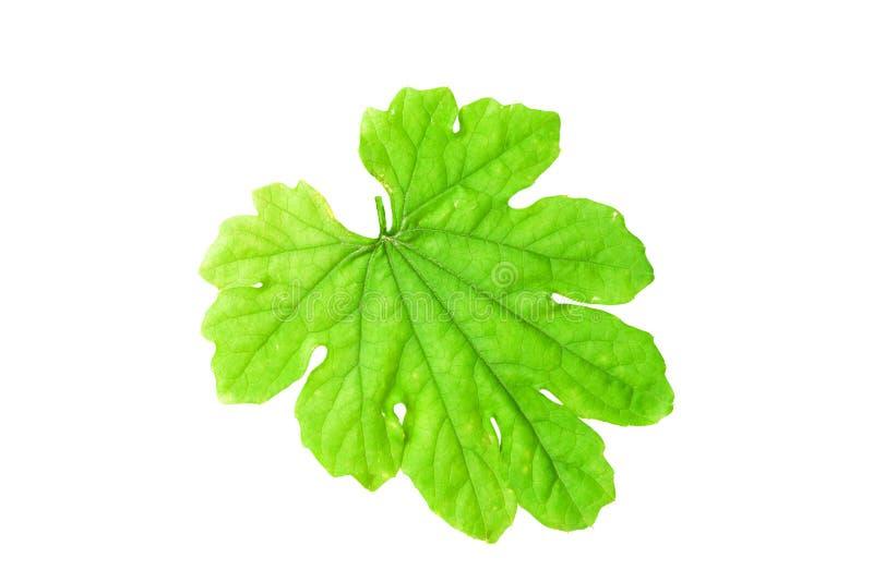 Grünblätter lokalisiert auf weißem Hintergrund, mit Beschneidungspfad lizenzfreies stockfoto